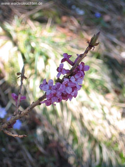 Gemeiner Seidelbast - Daphne mezereum