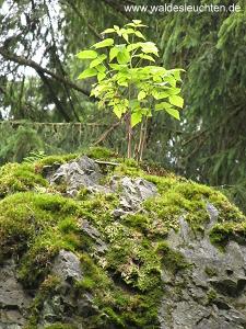 Junger Holunder - Sambucus nigra