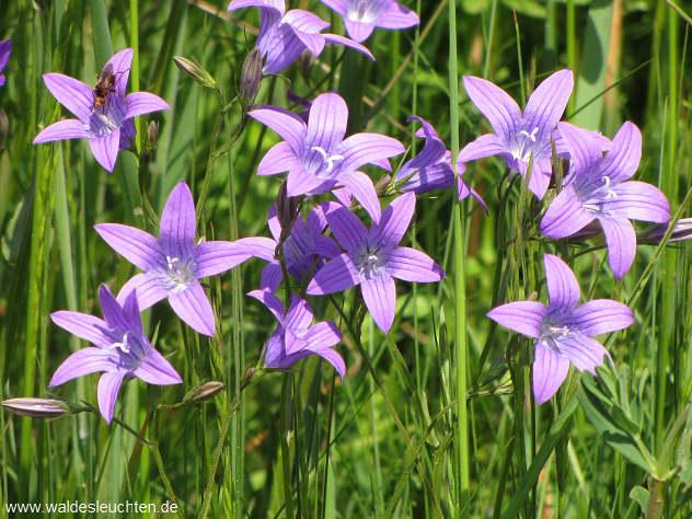 Pansfelde, Wiesenglockenblume - Campanula patula