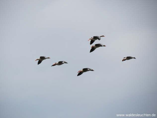 Graugänse - Anser anser im Flug