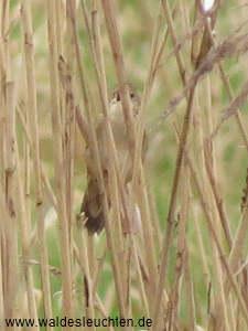 Feldschwirl - Locustella naevia