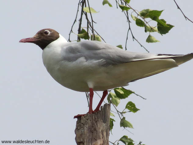 Lachmöwe - Chroicocephalus ridibundus