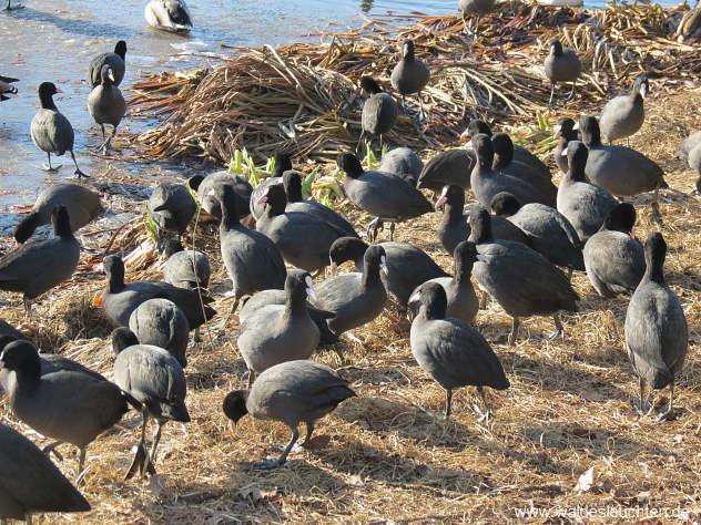schwarzes Gewimmel - Blässhühner an Land