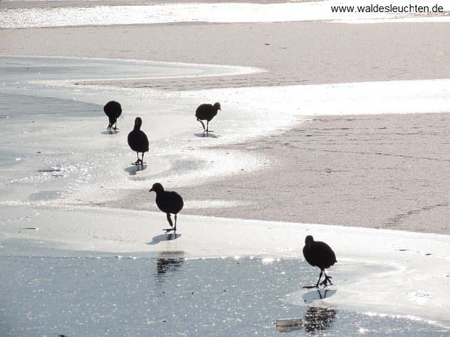 kein Strand, sondern Eis - Blässhühner suchen nach Nahrung