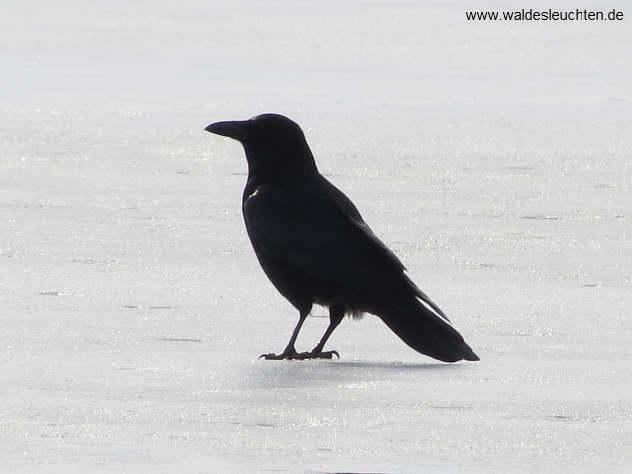 Rabenkrähe - Corvus corone corone - auf dem Eis