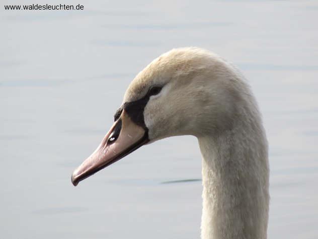 Krank wirkender Altschwan: gesträubtes Halsgefieder, mandelförmige Augen.