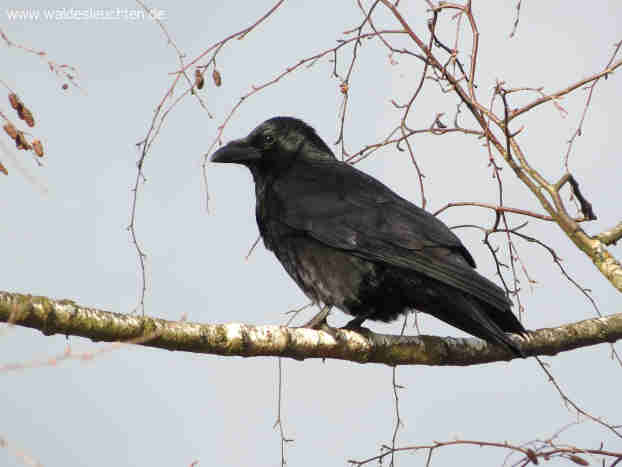 Rabenkrähe - Corvus corone corone