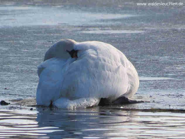kranker Schwan auf dem Eis - Cygnus olor