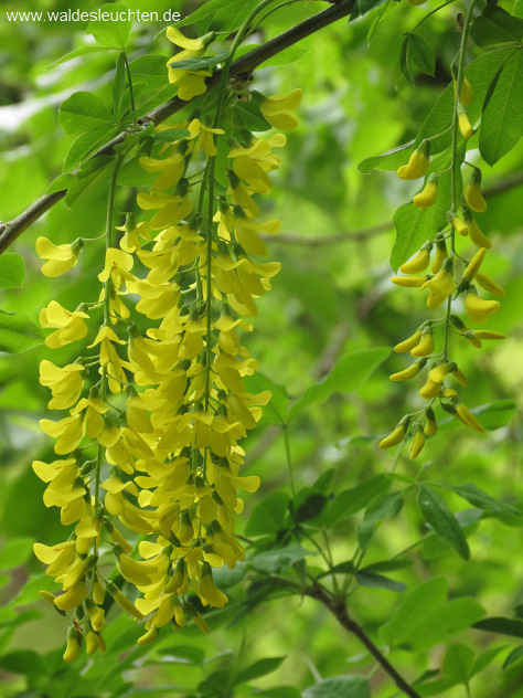 Goldregen - Laburnum anagyroides