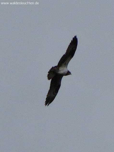 Fischadler - Pandion haliaetus