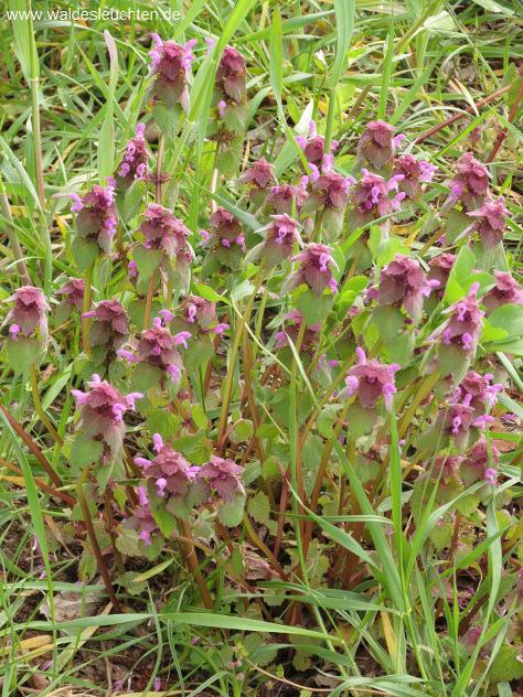 Rote Taubnessel - Lamium purpureum